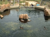 Sea duck display