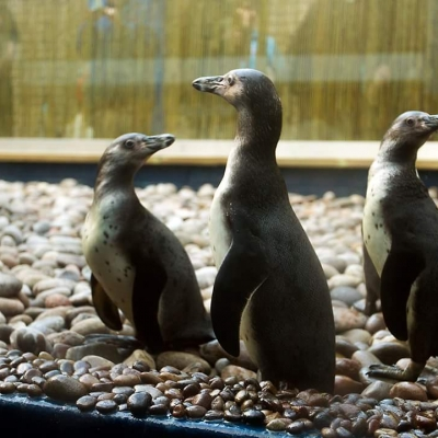 ATL penguins tank