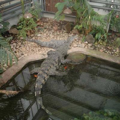 Crocodile swamp display