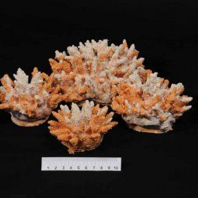 Acropora coral - Artificial Corals